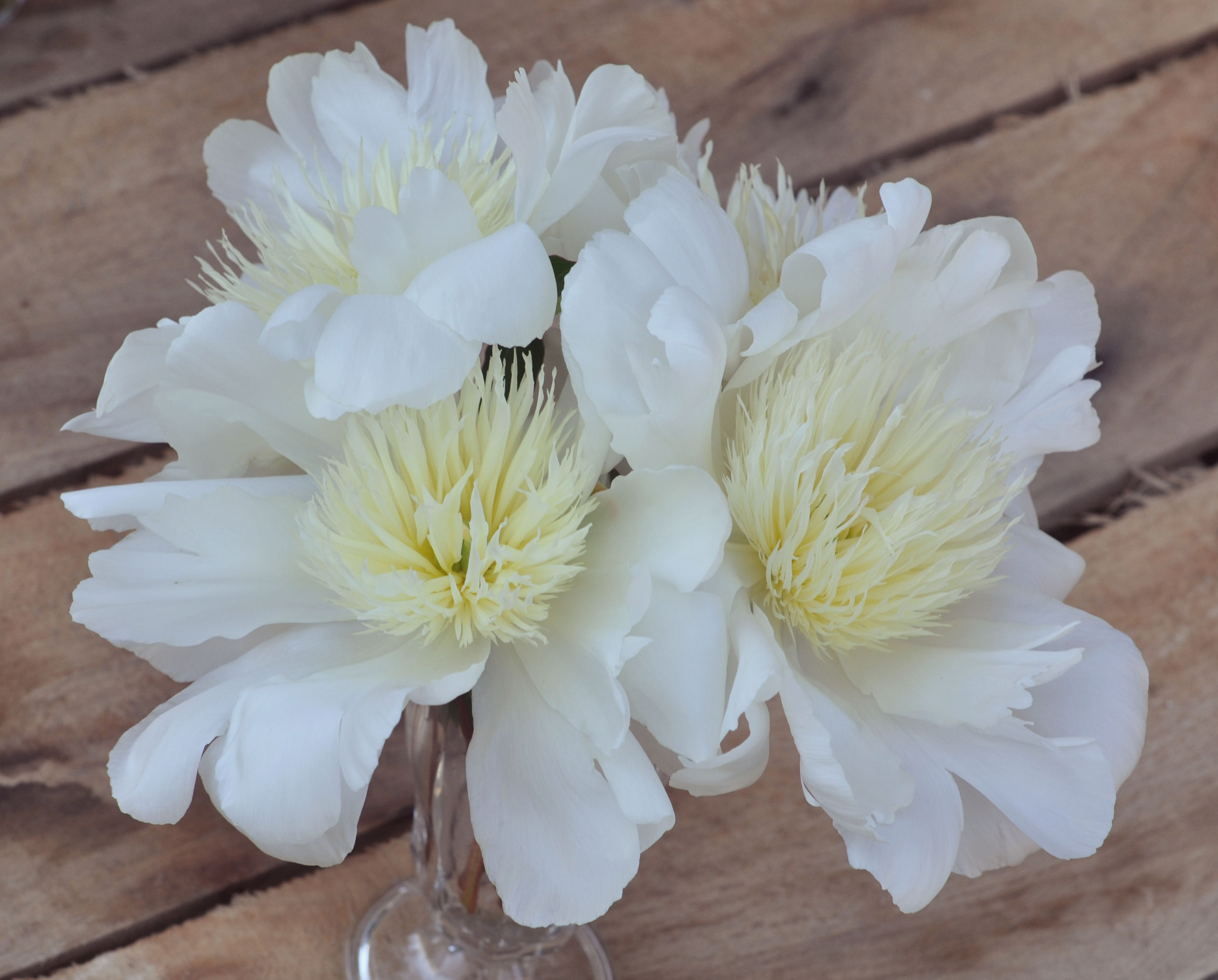 Wholesale peonies alaska peony market summer peonies charlies white has large elegantly formed pure white flowers illuminated by a golden glow at the base of the petals has a lovely fragrance mightylinksfo